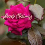 Good Morning Red Rose Images pictures for whatsapp