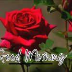 Good Morning Red Rose Images photo free hd