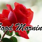 Good Morning Red Rose Images pics download