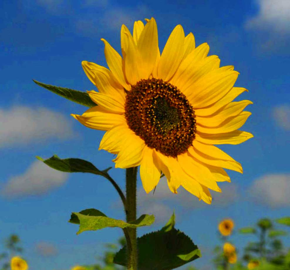 Free Sunflower Latest Whatsapp Dp Images Pics Download