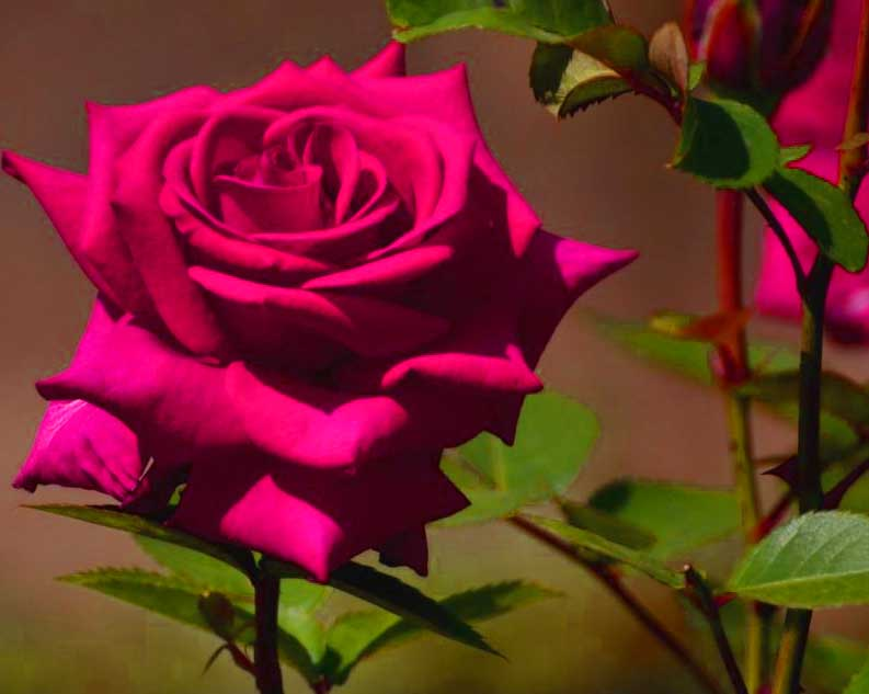 Nice Whatsapp DP Images With Red Rose