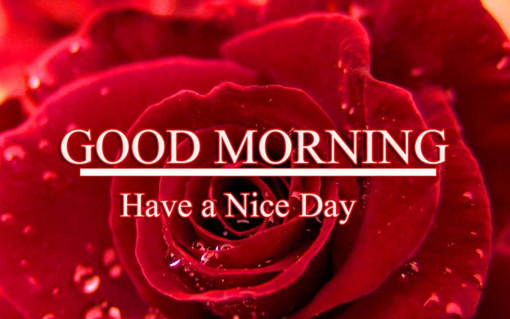 Beautiful Red Rose Good Morning Images Wallpaper Download