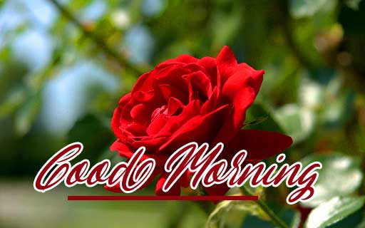 Beautiful Red Rose Good Morning Images Wallpaper Free Download