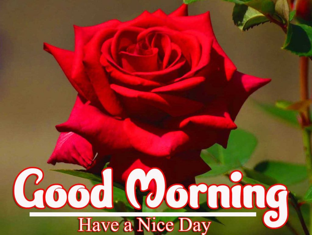 New Latest Beautiful Red Rose Good Morning Images Pics Download