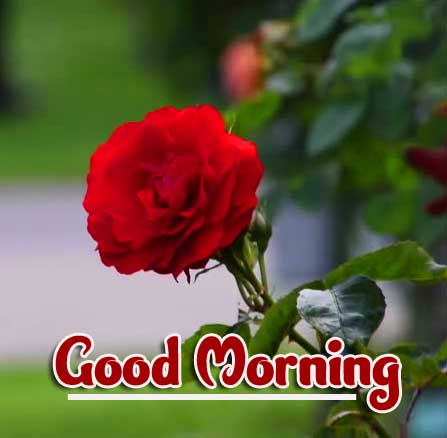 Beautiful Red Rose Good Morning Images Wallpaper Download