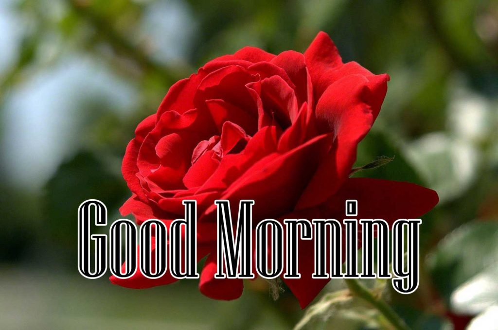 Sweet free Beautiful Red Rose Good Morning Images Pics Download