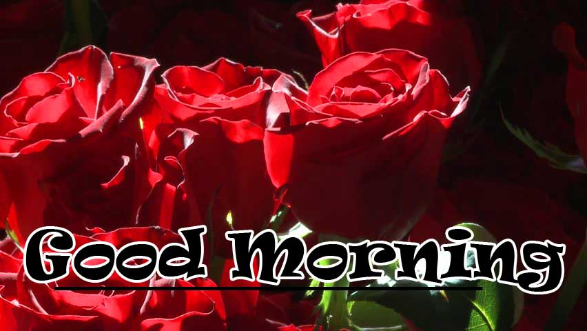 Beautiful Red Rose Good Morning Images pics Download