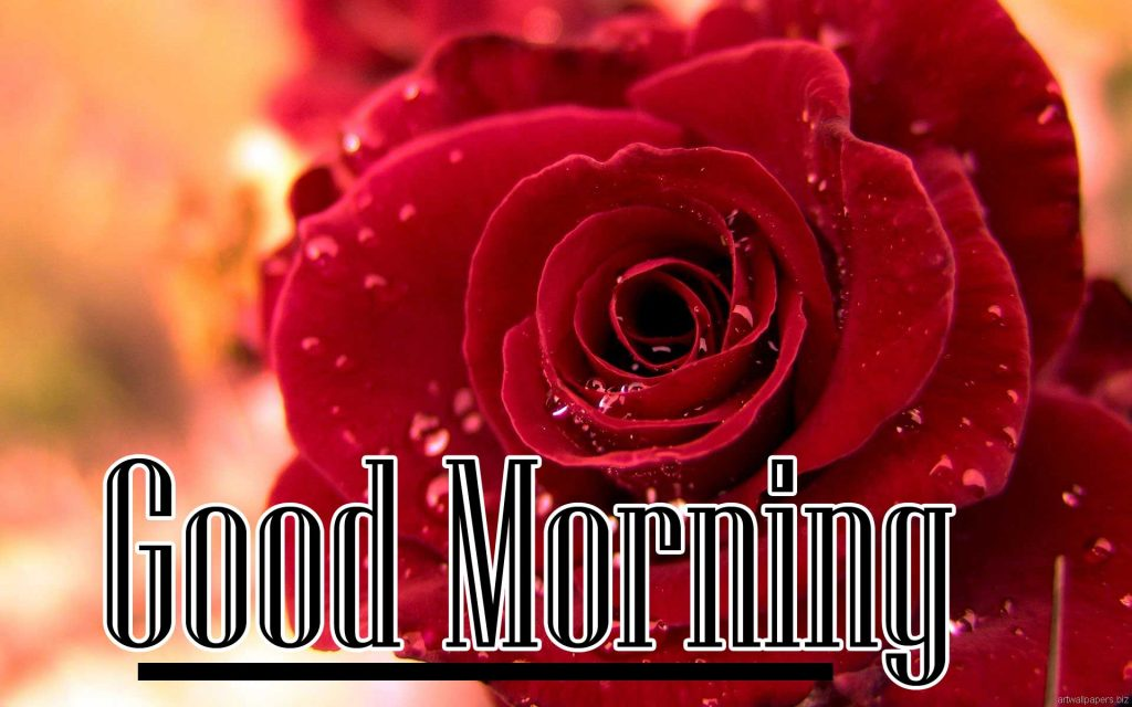 Beautiful Red Rose Good Morning Images Wallpaper for Facebook