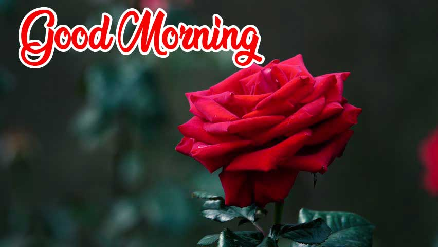 Beautiful Red Rose Good Morning Images Pics Free