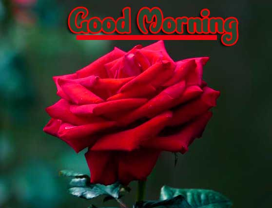 Beautiful Red Rose Good Morning Images Pictures Download