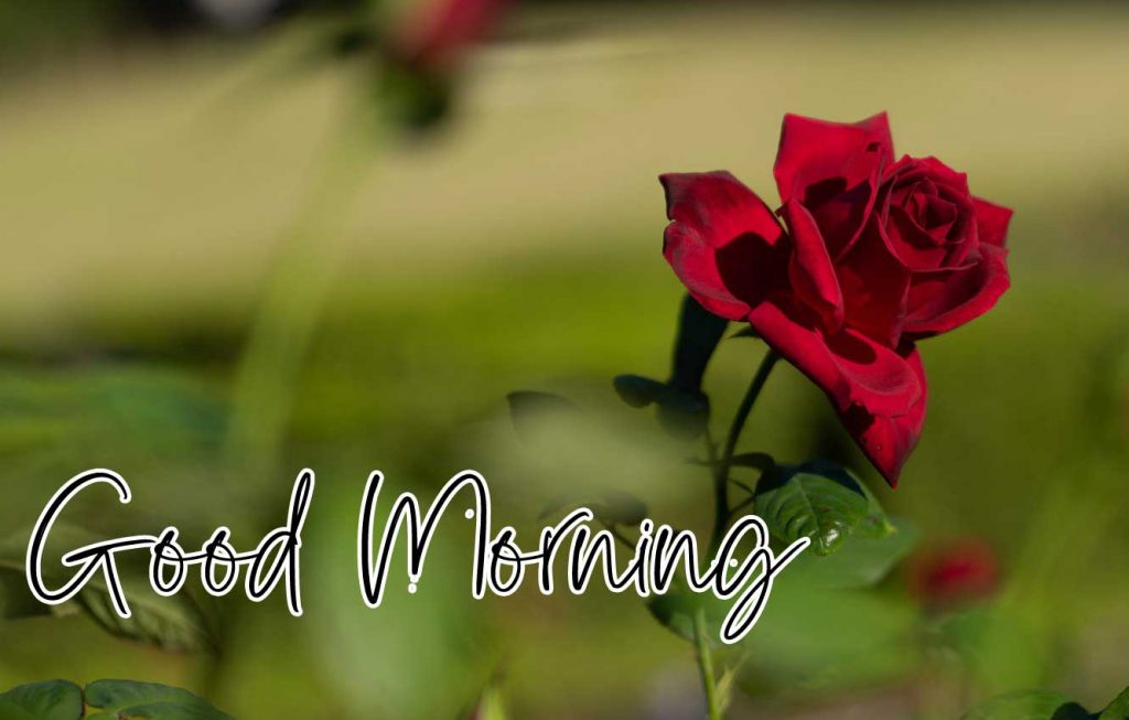 Beautiful Red Rose Good Morning Images Pics Free Latest Download