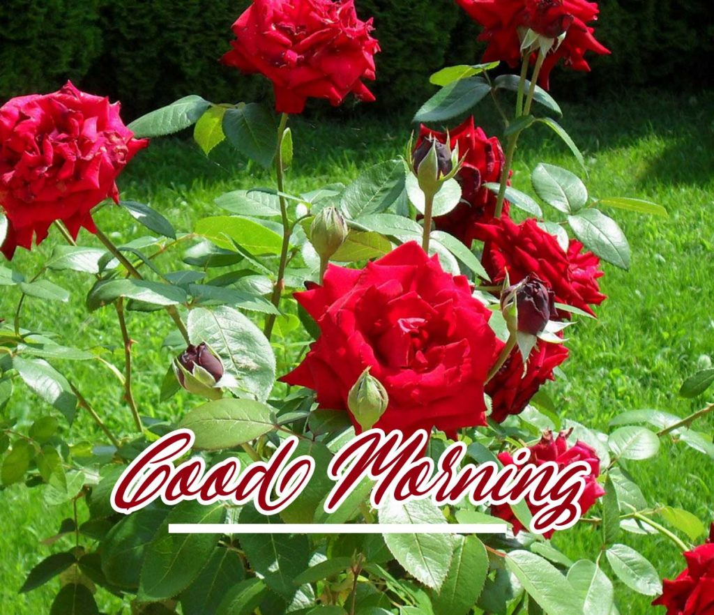 Beautiful Red Rose Good Morning Images Wallpaper Free Download