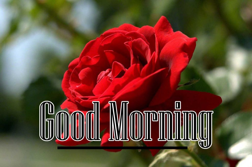 Beautiful Red Rose Good Morning Images pics Wallpaper Download