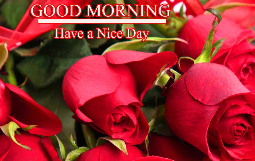 Beautiful Red Rose Good Morning Images Pics photo Download