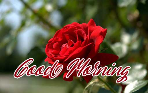 Beautiful Red Rose Good Morning Images pics HD Download Free