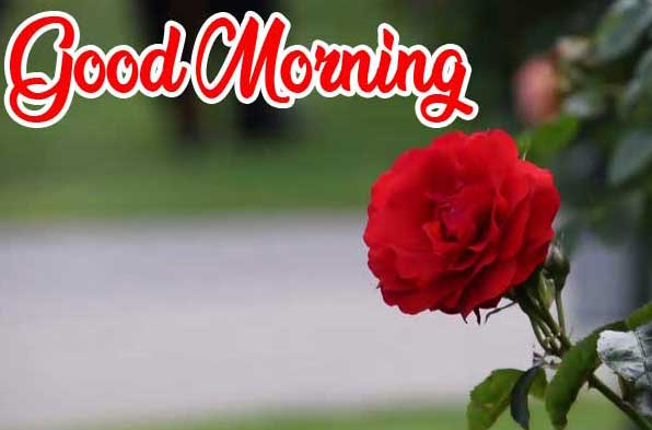 Beautiful Red Rose Good Morning Images Pics Download New