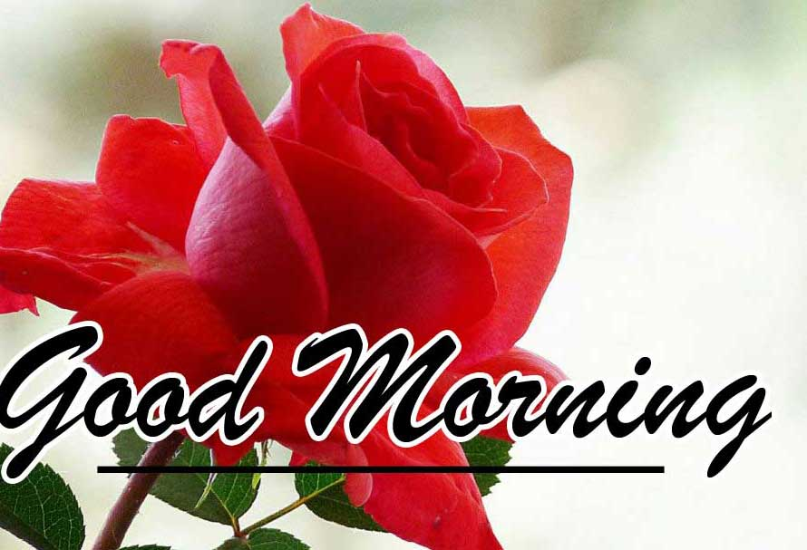 Best Red Rose Good Morning Images HD Free New