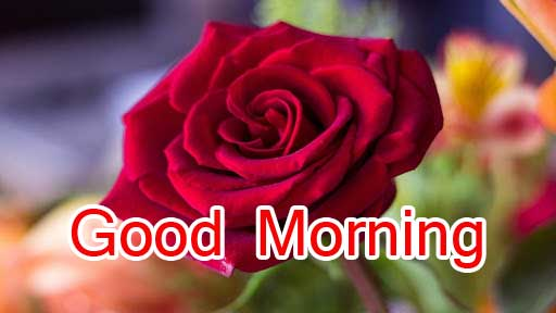 Best Red Rose Good Morning Images Pics Download Free