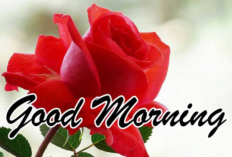 Best Red Rose Good Morning Images Wallpaper Free Download