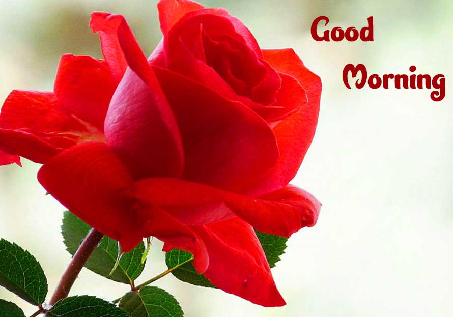 Beautiful Red Rose Good Morning Images photo Free