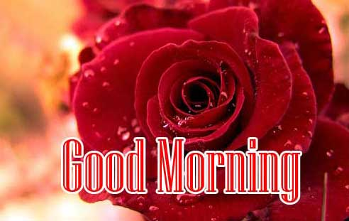 Latest Free Best Red Rose Good Morning Images Pics Download