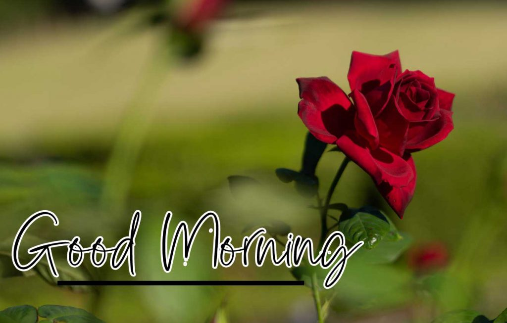All Best Red Rose Good Morning Images Pics Download