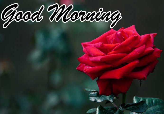 Best Free Best Red Rose Good Morning Images pics Download
