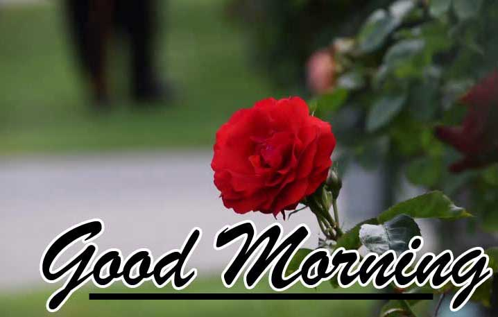 Best Red Rose Good Morning Images Wallpaper Pics Download