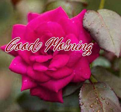 Best Red Rose Good Morning Images Photo for Facebook