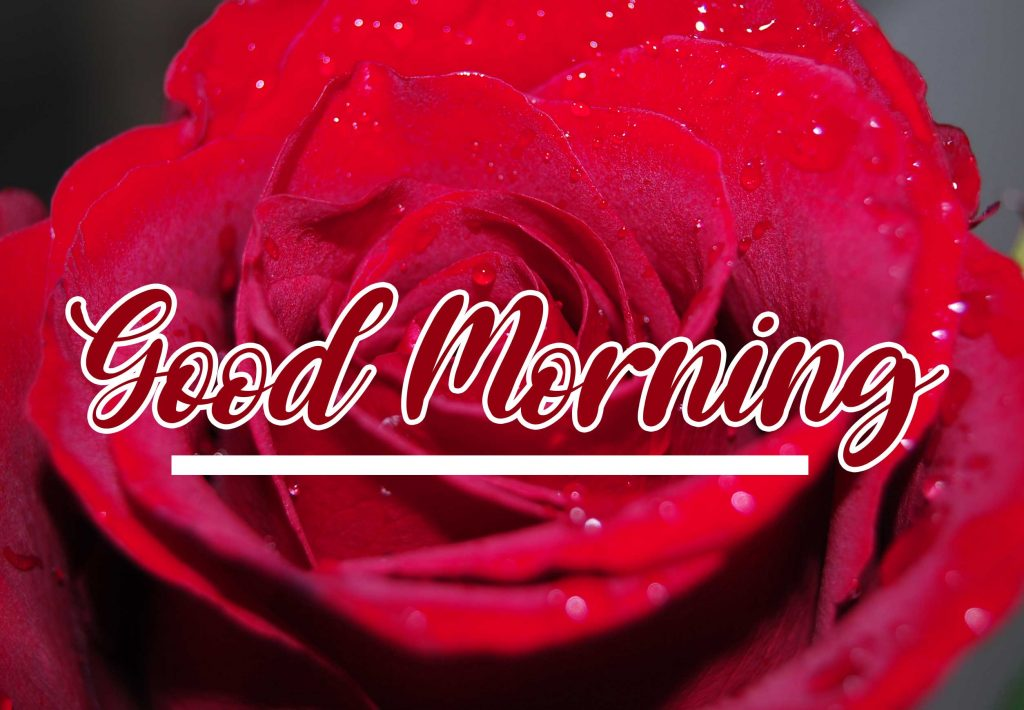 Best Red Rose Good Morning Images Wallpaper Free Download Free