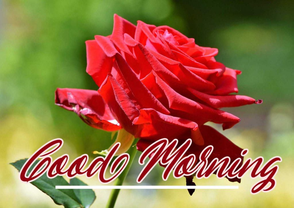 New Top Latest Best Red Rose Good Morning Images Pics HD Download