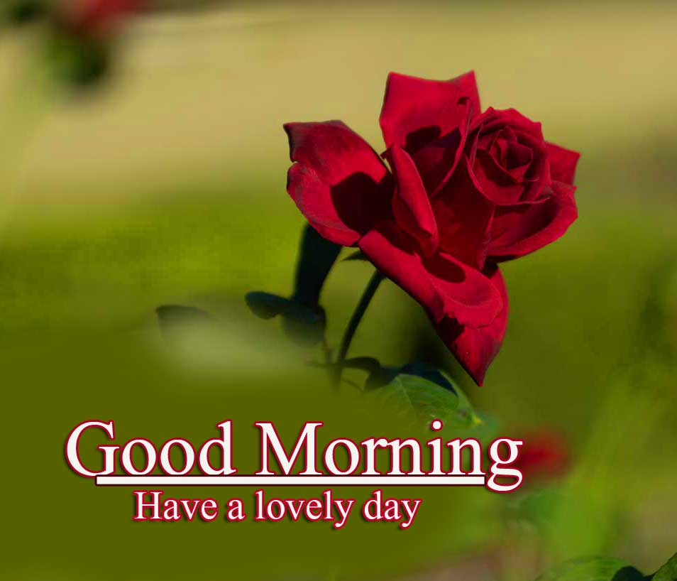 Best Red Rose Good Morning Images photo Download