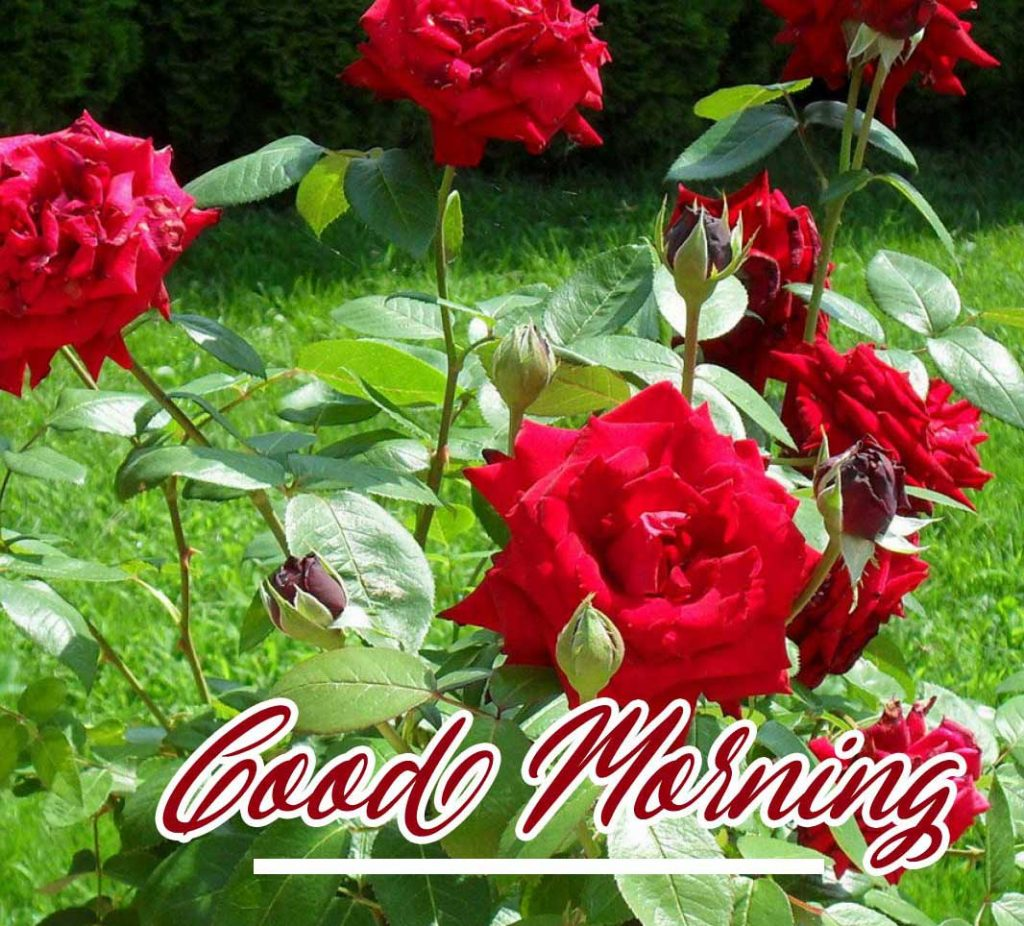 Best Red Rose Good Morning Images Pics free
