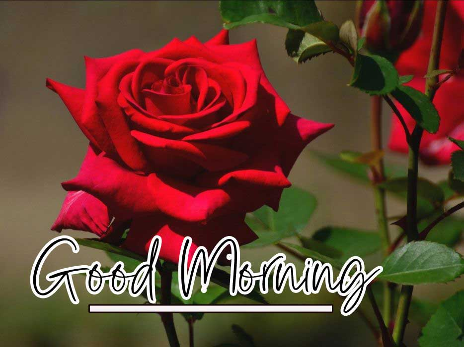 New Top Free Best Red Rose Good Morning Images Pics Download