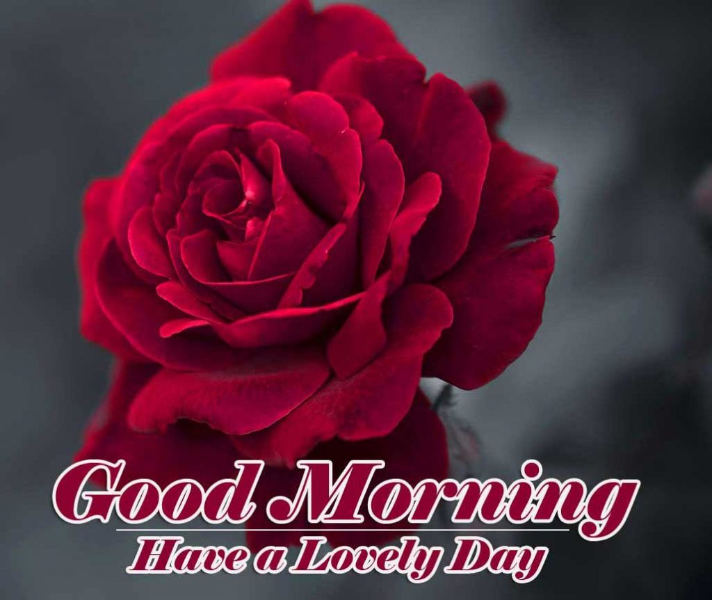 Best Red Rose Good Morning Images Wallpaper Download New