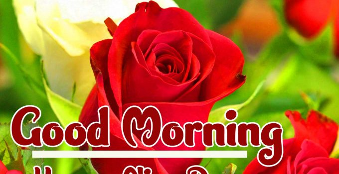 Red Rose Good Morning Images photo free hd