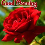Red Rose Wishes Images pictures for download