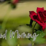 Red Rose Wishes Images