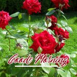 Red Rose Wishes Images photo free hd download