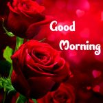 Red Rose Wishes Images pictures free hd