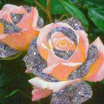 Rose Best Dp Images Pics Download