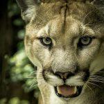 Lion Profile Wallpaper Pics Download