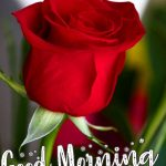 Rose Free Good Mornign Photo