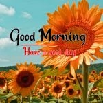 Sunflower Good Morning Pictures Hd