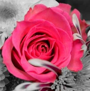Rose Nice Whatsapp Dp Pics Images