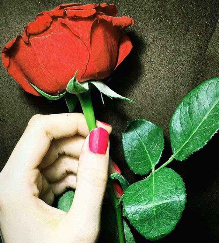 free Red Rose Whatsapp DP Pics Download