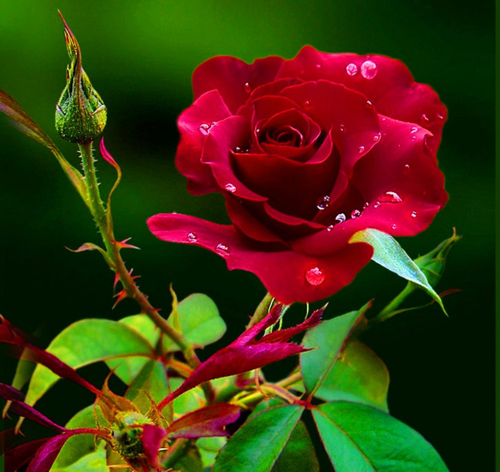 Red Rose Whatsapp DP Photo Download